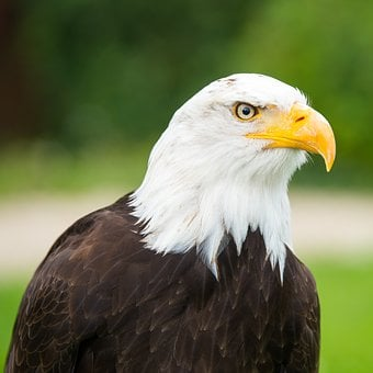 Adler, Raptor, Bird Of Prey, Bald Eagle