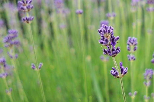 Lavender, Flower, Blossom, Bloom, Plant, Violet, Purple