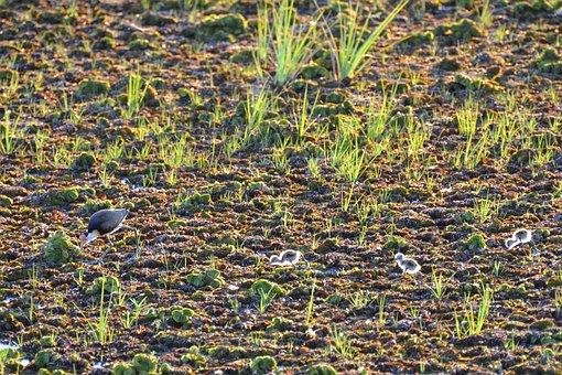 Bird, Backlit, Wildlife, Comb-crested Jacana, Jacana
