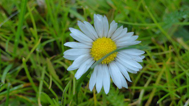 Flower, Daisy, Spring, Small Flowers, Nature, Meadow