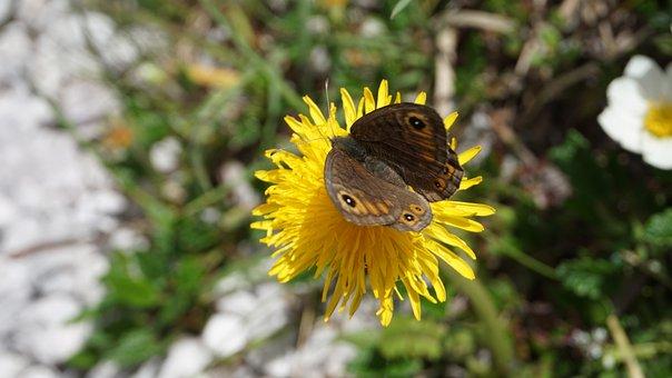 Butterfly, Flower, Dandelion, Yellow, Blossom, Bloom