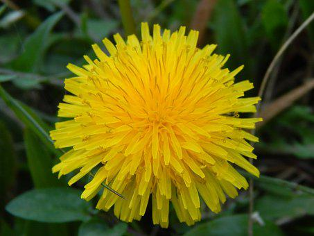 Dandelion, Yellow Flower, Wild Flora