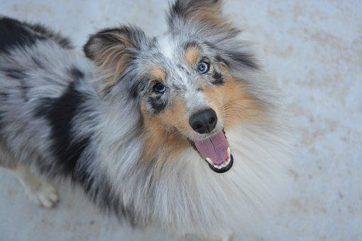 Shetland Sheepdog, Dog, Young, Female, Domestic Animal