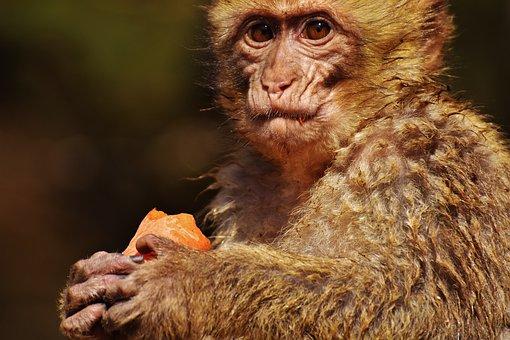 Barbary Ape, Eat, Food, Endangered Species