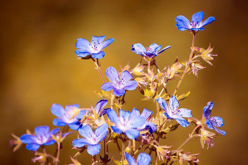 Flowers, Nature, Blue, Flora, Wild Flowers, Wild Plant