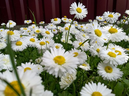 Daisies, Summer, Glade, Nature, Flowers, White Flower
