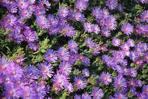 Flowers, Carpet, Garden, Flowering, Botany, Nature