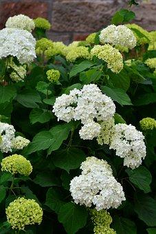 Hydrangeas, White Hydrangea, Flowers, Garden