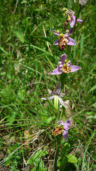 Bee Orchid, Variety Friburgensis, German Orchid, Rarely