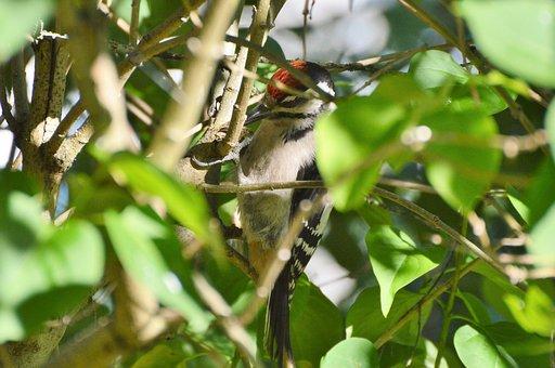Great Spotted Woodpecker, Woodpecker, Forest Bird, Bird
