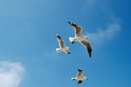 Seagulls, Gulls, Sky, Blue, Flying, Birds, Cloud