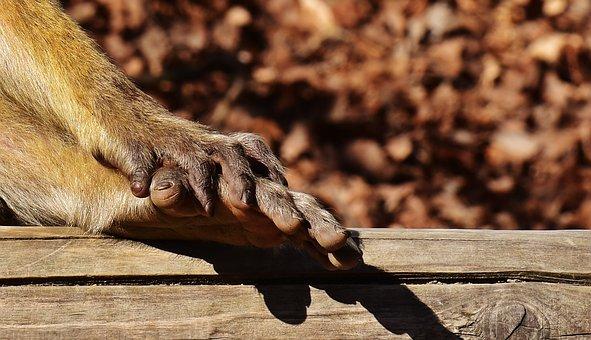 Barbary Ape, Foot, Hand, Endangered Species
