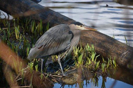 Pacific Great Blue Heron, Heron, Stanley Park
