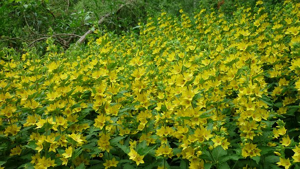 Inula, Wild, Gold Yellow Flowers Carpet, Well Bright
