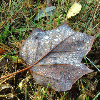 Leaf, Leaves, Autumn, Fall, Dew, Raindrops, Poplar