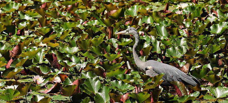 Heron, Water Lilies, Lily Pond, Bird, Animal