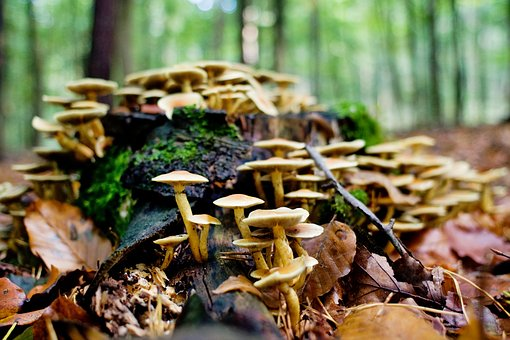 Mushrooms, Forest, Log, Autumn, Germany, Lower Saxony