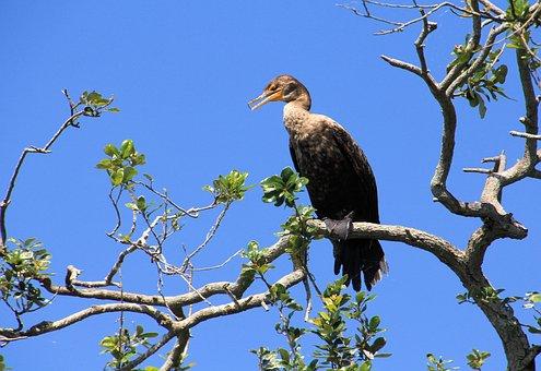 Cormorant, Female, Nature, Wildlife, Bird, Feather