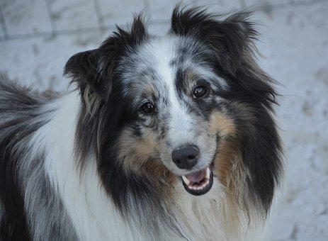 Shetland Sheepdog, Dog, Young, Female, Nature