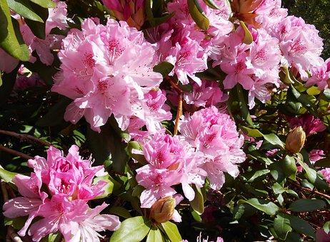 Rhododendron, Blossom, Bloom, Open, Pink, Garden, Bud
