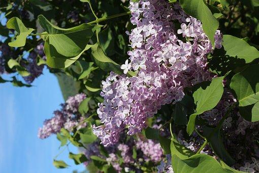 Lilac, Purple Flower, Violet, Plant, Spring