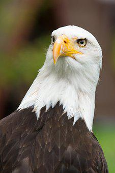 Adler, Coat Of Arms Of Bird, Raptor, Bird Of Prey