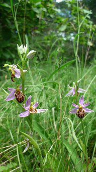 Bee Orchid, Next, Variety Friburgensis, Right, Var