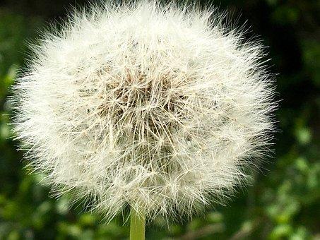Dandelion, Seeds, Wind, Dandelion Seeds, Close