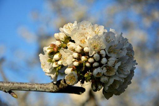 Cherry, Flower, Sprig, Spring, Nature, Spring Flowers