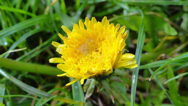 Flower, Taraxacum Officinale, Lactarius, Nuns, Meadow
