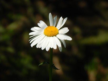 Daisy, White Flower, Garden