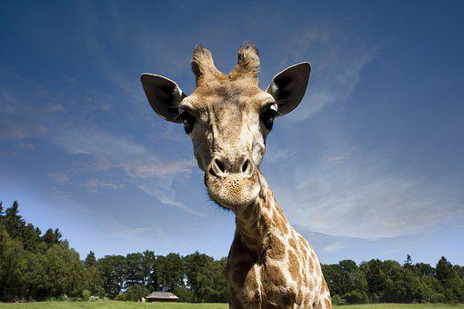 Animals, Giraffe, Wilderness, Africa, Zoo