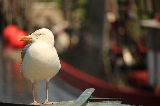 Seagull, Lake, Bird, Sea, Seagulls, Waterfowl, Birds