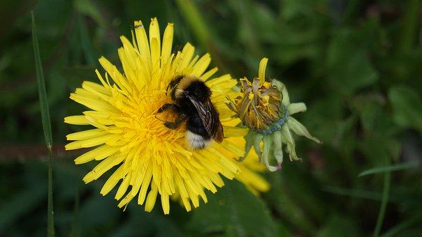 Hummel, Dandelion, Pollen, Yellow, Macro, Plant, Nature