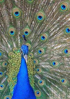 Peacock, Feather, Bird, Colour, Colorful, Blue, Green