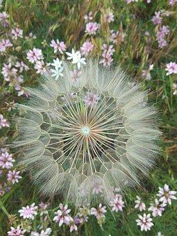 Dandelion, Flowers, Flowers Of The Field, Flower