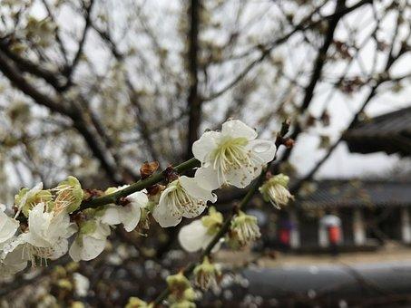 Pear, Korea, Flower, Outing, Enjoy The Spring, Flowers