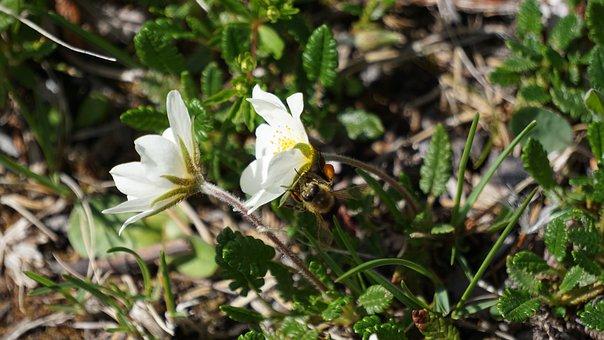 Hummel, Pollen, Hard Working, Blossom, Bloom, Close