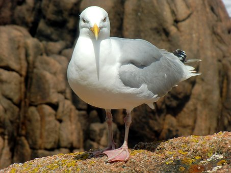 Seagull, Herring Gull, Larus Argentatus, Large Gull