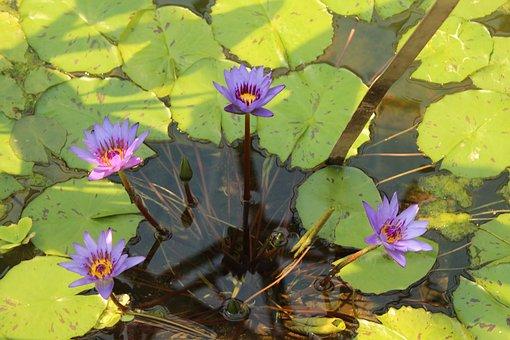 Lake, Rose, Purple, Water, Water Lily, Bloom, Pond