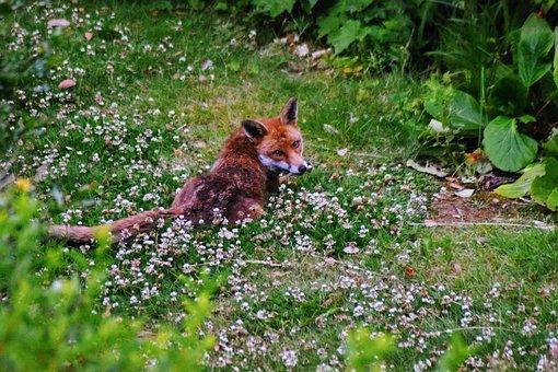 Urban Fox, Fox, Urban, London, Nature, Wildlife