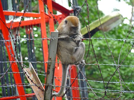 Monkey, Barbed Wire, Forest, Macaque, Urban, Park, Asia
