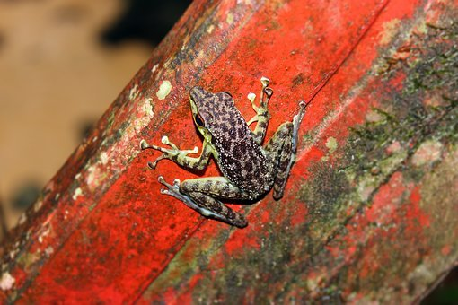Frog, Nature, Fauna, Animal, Amphibian, Macro, Tropical