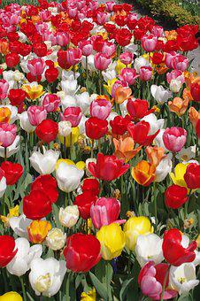 Tulips, Colorful Flowers, Tulip Sea, Spring, Colorful