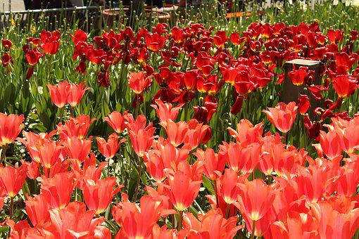 Tulips, Red, Tulip Sea, Flowers, Spring, Blossom, Bloom