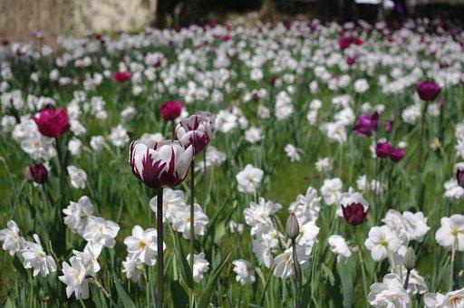 Tulips, Tulip Sea, Tulip Field, Tulip Bed