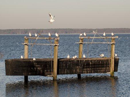 Gulls, Water, Water Bird, Bird