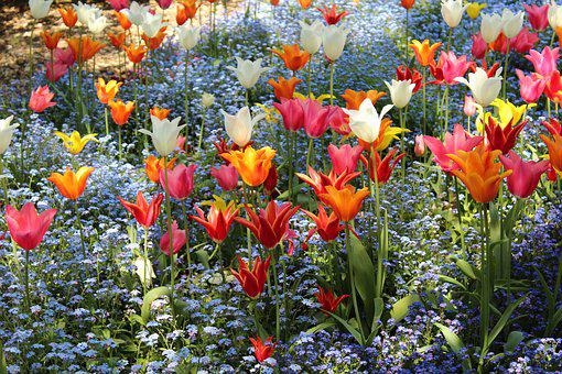 Tulips, Colorful, Red, Orange, White, Yellow, Pink