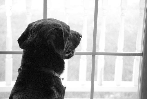 Labrador Retriever, Window, Missing, Watching, Waiting