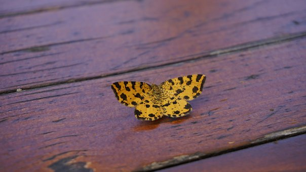 Butterfly, Yellow, Table, Insect, Wing, Close